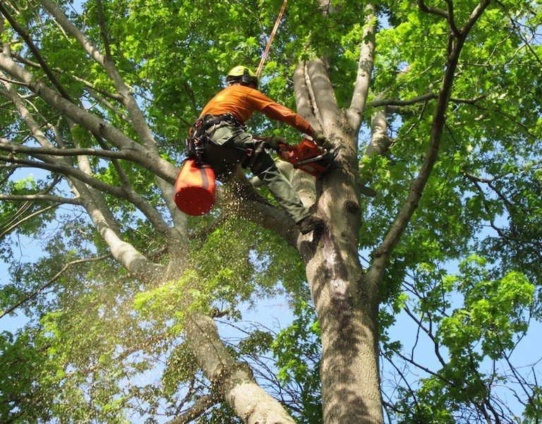 Picture of our tree climber in a large tree at the top trimming dead and old branches for a customer in Columbia, MO